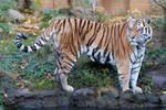 Tiger 08 Stock