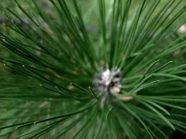 pine pine pine by M0D3S7M1K3