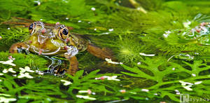 Frog and Baby Water-Striders by rayyeow