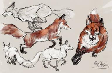 fox in run
