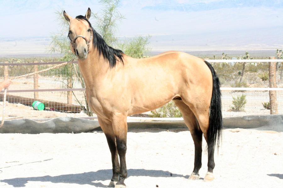 Dun horses - photo#28