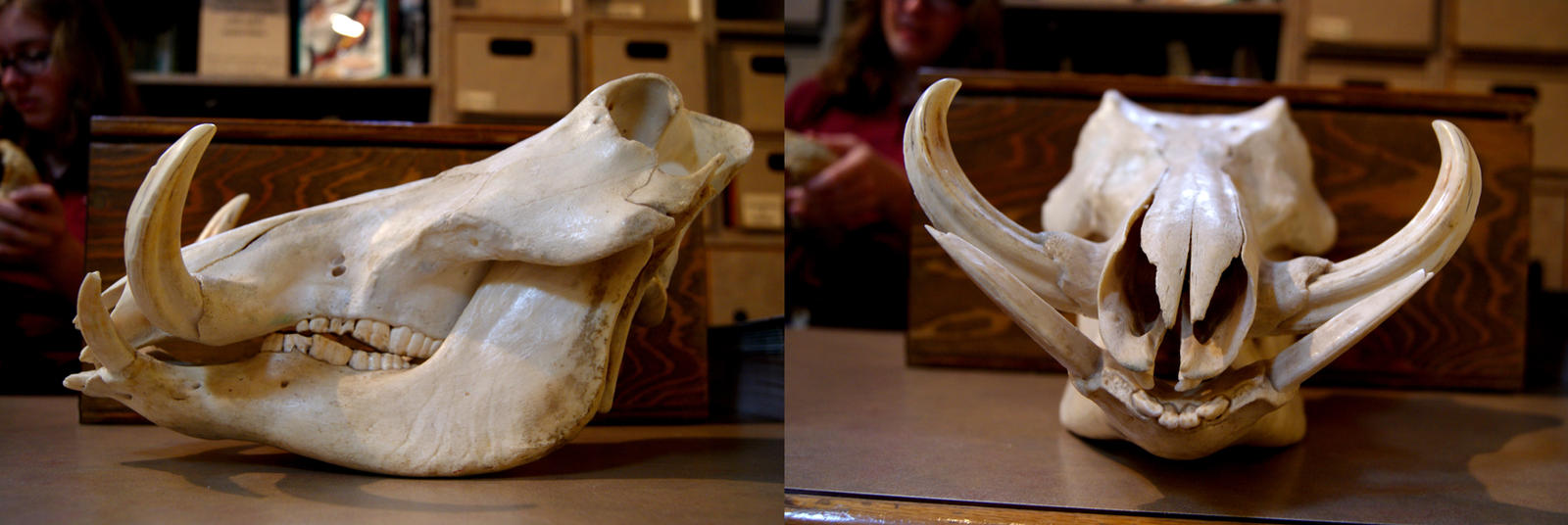 Warthog Skull by Vanwolf
