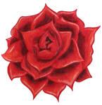 Red Rose of Dawn