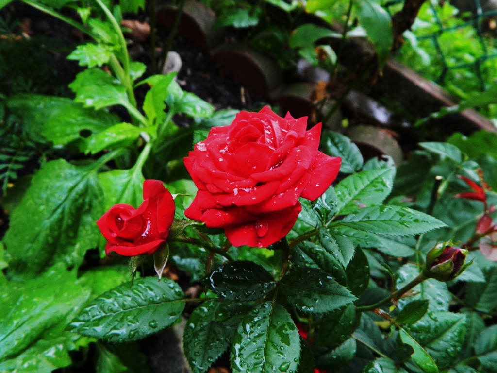 a rose with water drops by o0oO-araceli-Oo0o