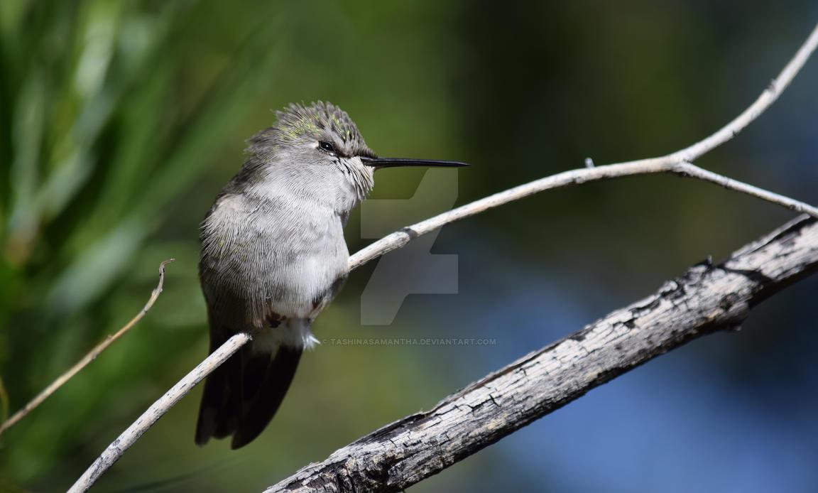 Beautiful Hummingbird by TashinaSamantha