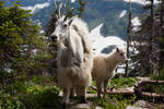 mountain goats 1