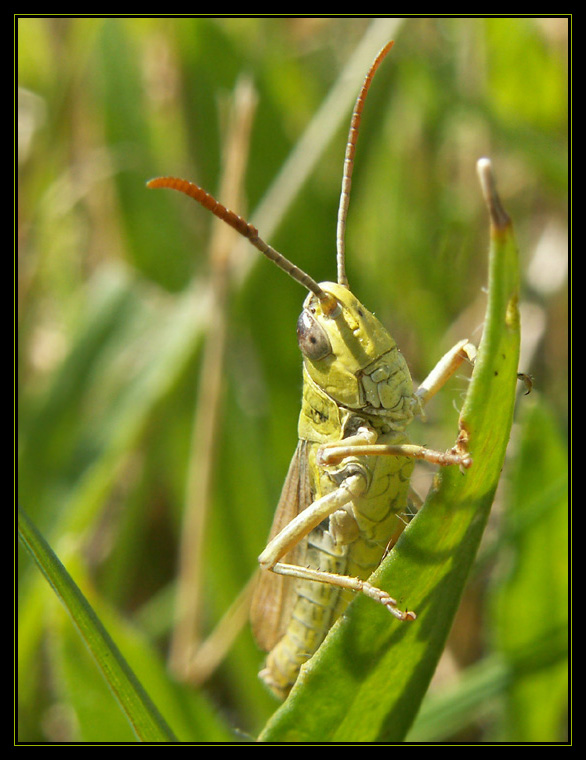 Grasshopper I by alalala