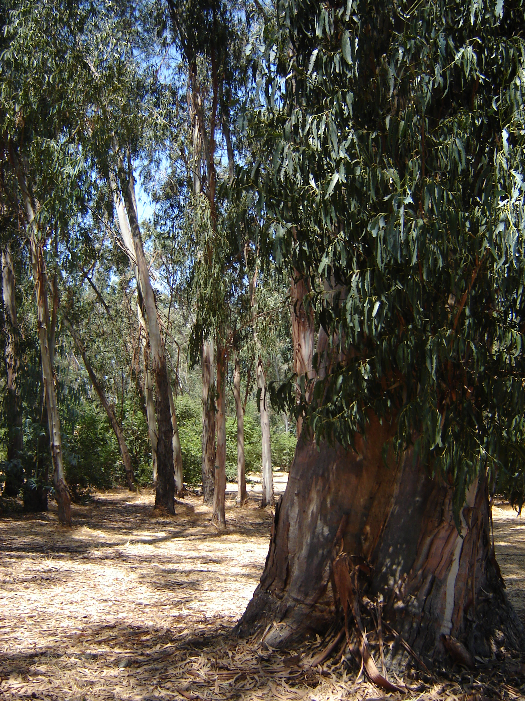 Eucalyptus Stock by Amor-Fati-Stock