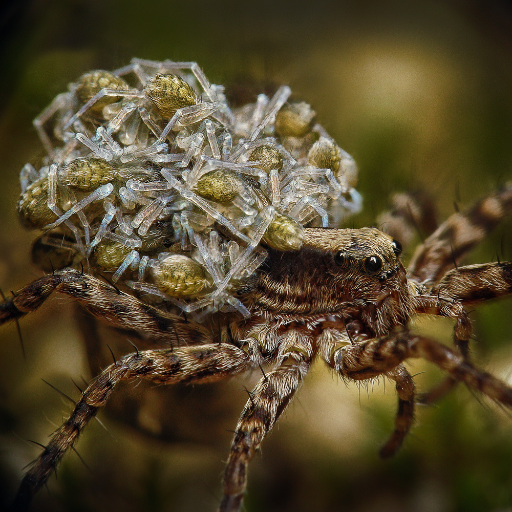 Pardosa palustris by Art-de-Viant