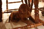 vizsla puppy 3