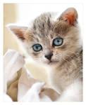 Kitten with a Blankie