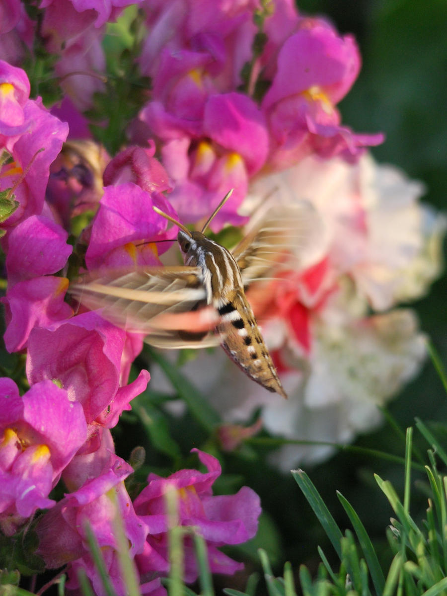 Hummingbird Moth by RavansShadow