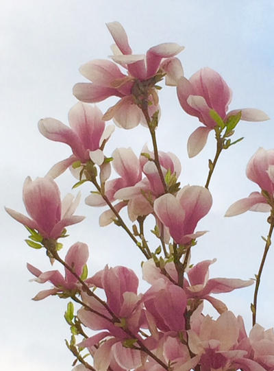 Magnolia by Rot5