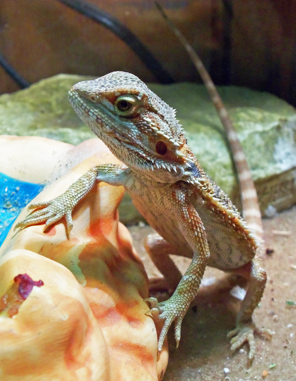 Bearded Dragon Food Delivery