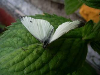 Butterfly by Lovecatssss1998