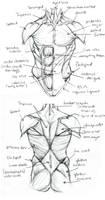 Anatomy Final.TorsoStudy by Quackamos