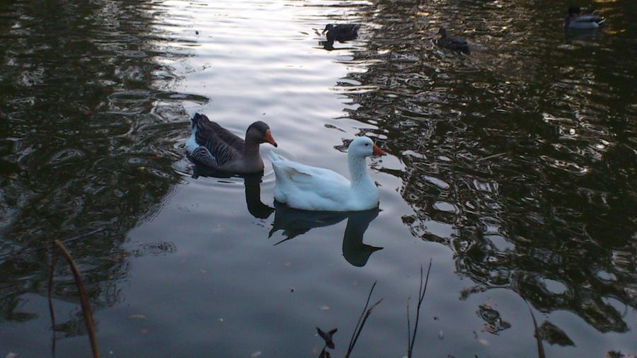 Embden Geese by Dan-S-T