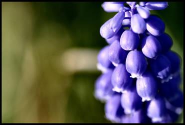Grape Hyacinth by Twilight-Lament