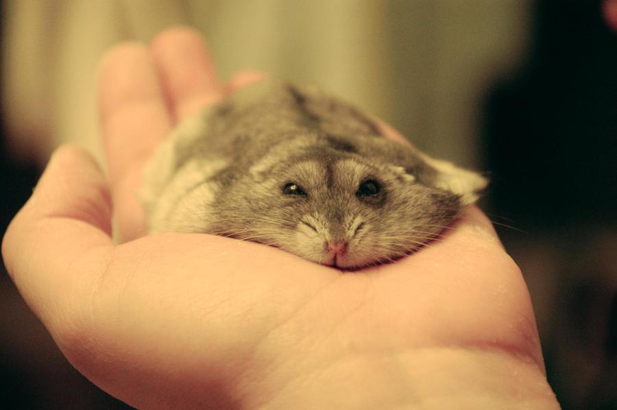 Hamster01 by sakato