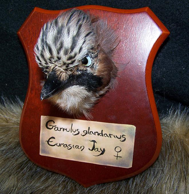 Eurasian Jay Bird Trophy Mount FOR SALE by EternalEmporium