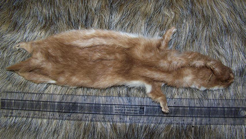 Least Weasel pelts FOR SALE by EternalEmporium