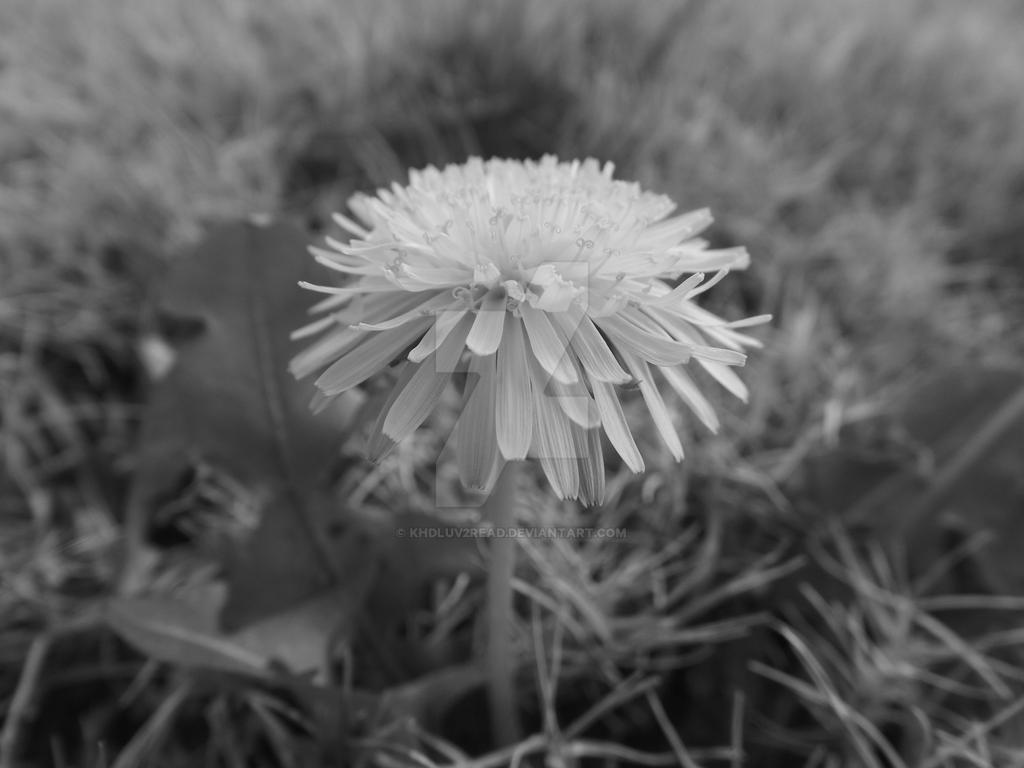 dandelion by khdluv2read
