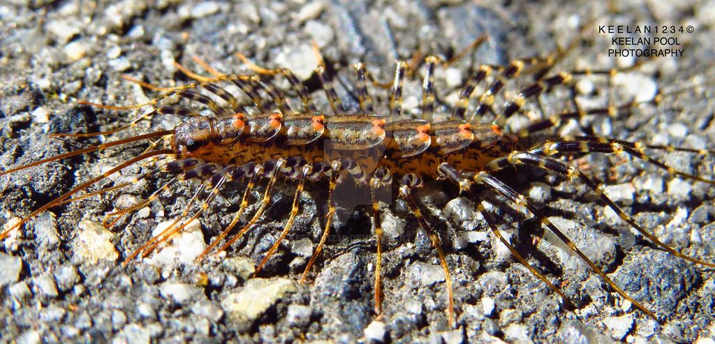 House Centipede (Scutigera Coleoptrata) by keelan1234