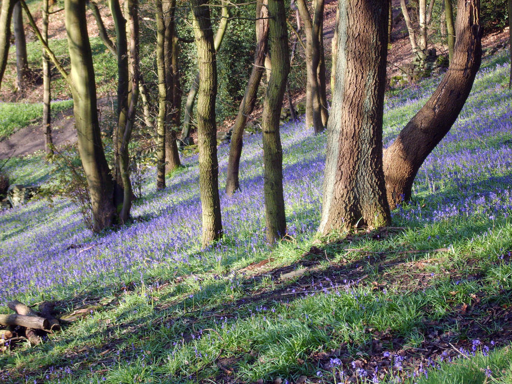 Woodland Bluebells by PaulineMoss