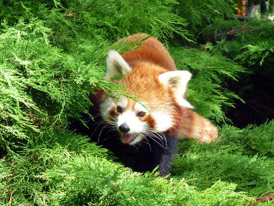 Jasmina the Red Panda, Bristol by stevekez
