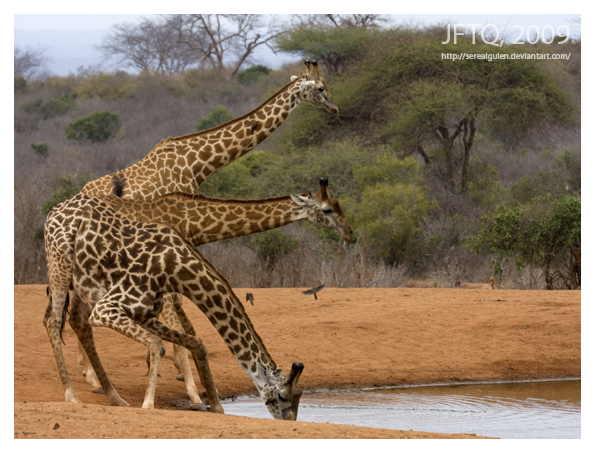 'tres tristes jirafas' by serealguien