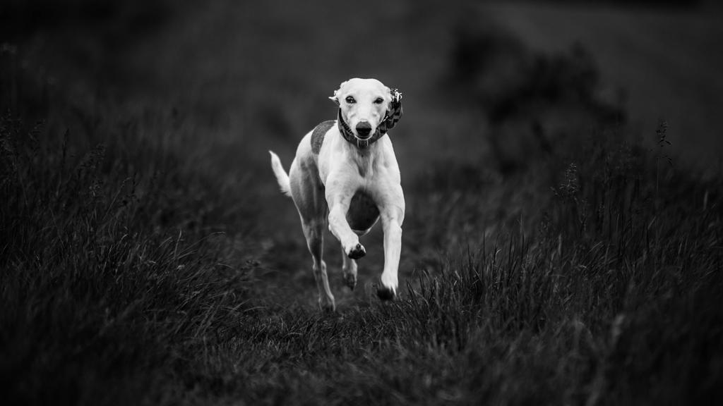 Whippets by VooDooMania