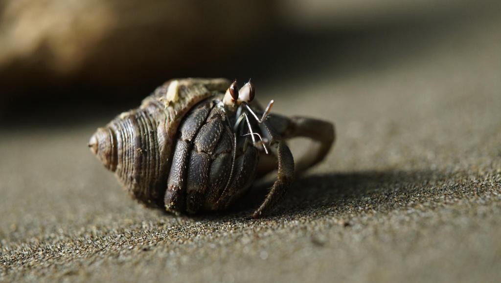 hermit crab by Alvro