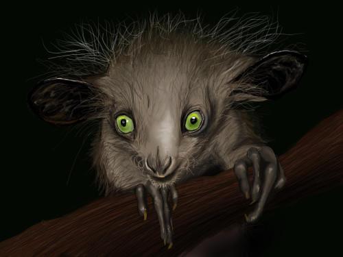 Baby aye aye lemur - photo#23
