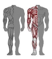 Anatomy study by merbel