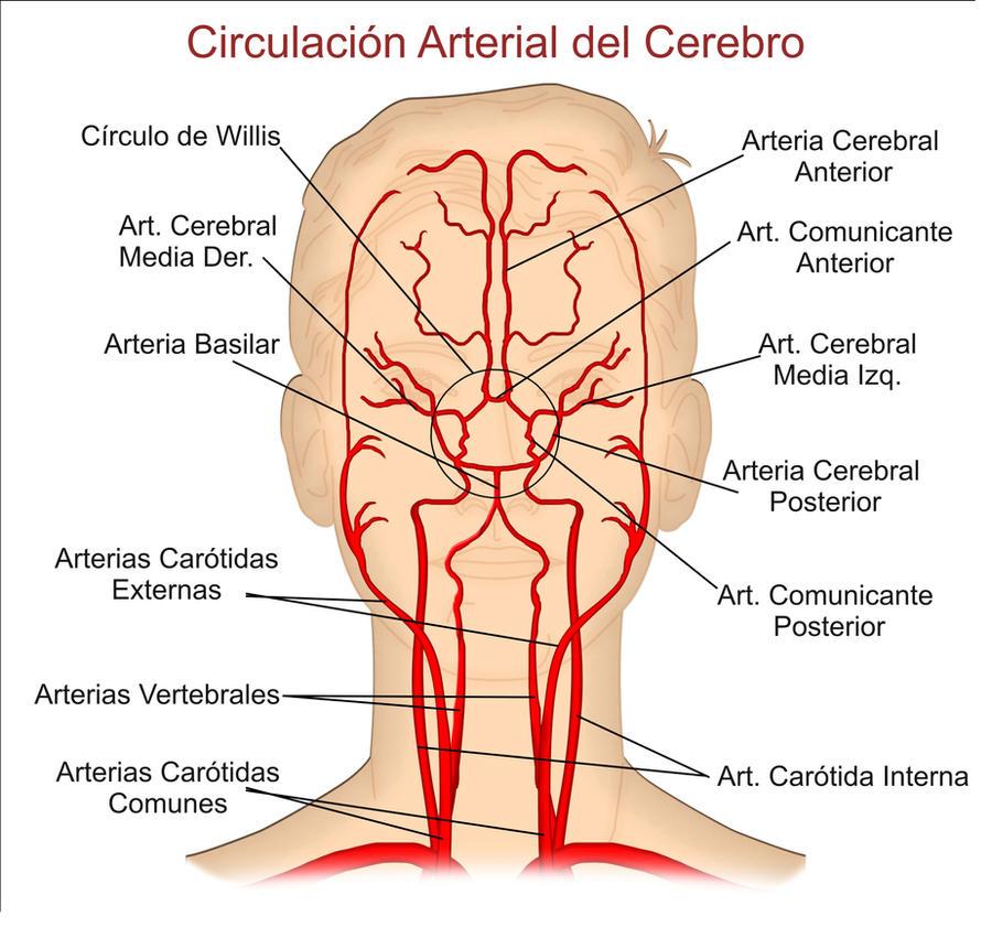 Circulacion arterial by tolonet on deviantart - Medias para la circulacion ...