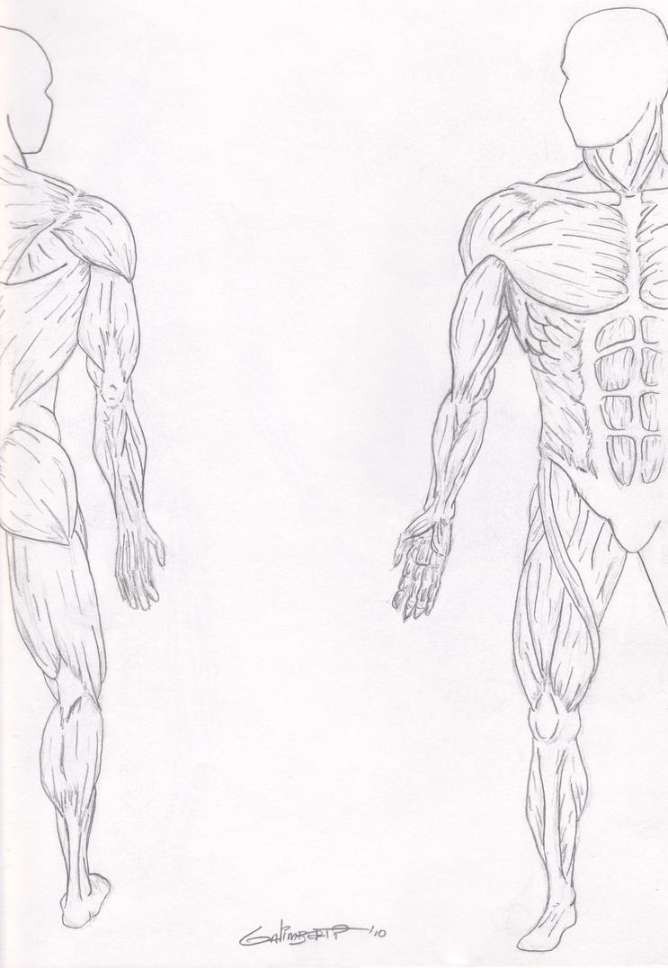 Muscular system by TinTurkey on DeviantArt