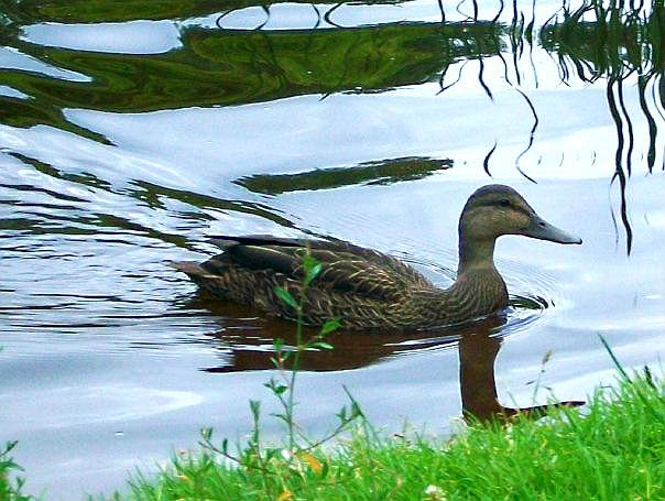 Duck. by Liarbriarpantsonfiar