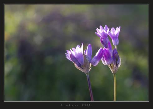 Desert Spring - Blue Dicks