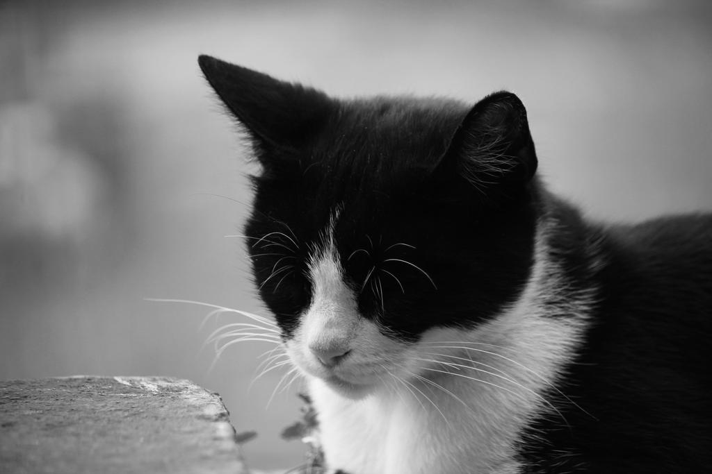 cat bw by mightylens