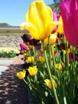 Row of Tulips by xliilshortyx3