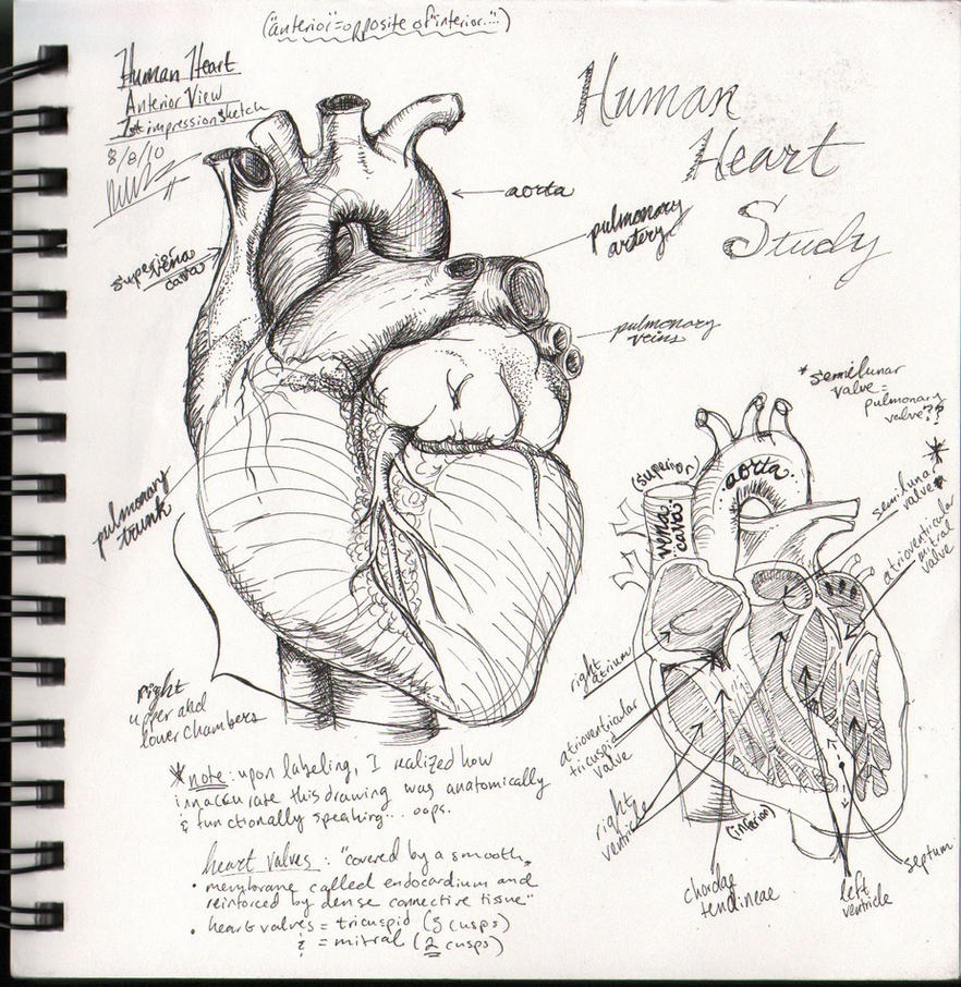 an analysis of the human heart in biology Lc biology notes /revision qs it is made up of a number of different tissues organised into organs such as the heart structure of the human circulatory system.