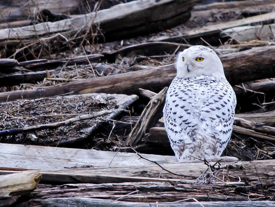Snowy owls VI by laufiend