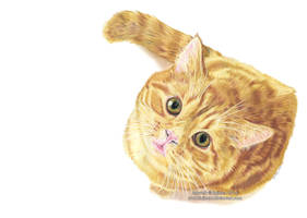 Ginger kitty drawing by Ilojleen