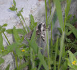 Snowberry Sphinx Moth - Hangin' Out