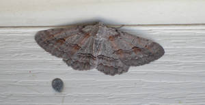 Another Moth