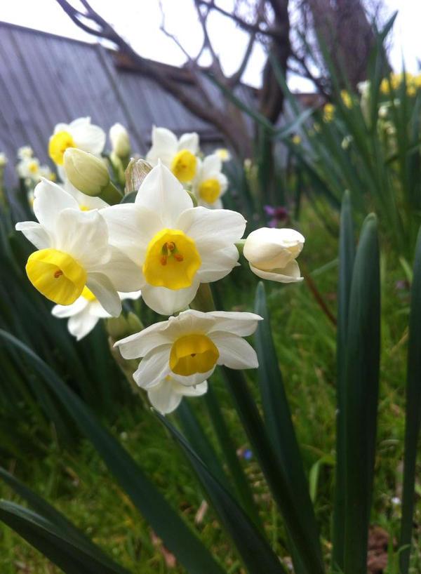 Jonquils and Daffodils by hazeldazel