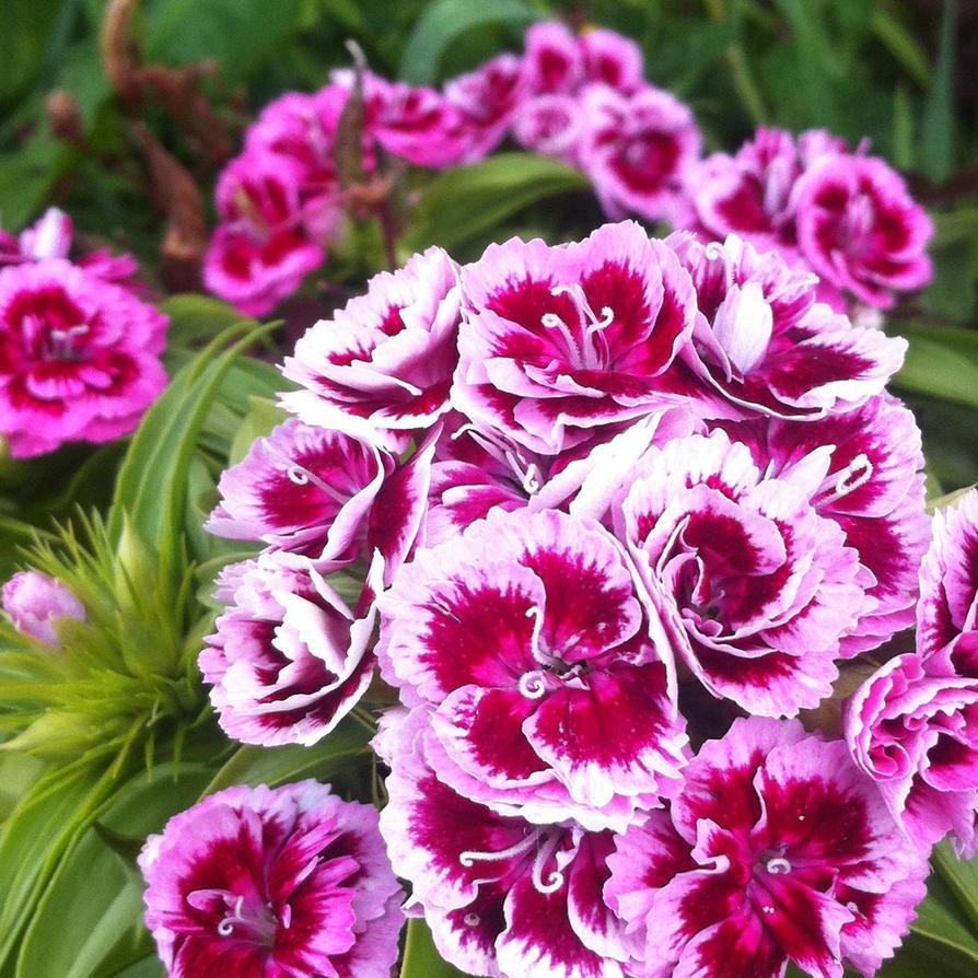 Dianthus Barbatus Sweet William By Hazeldazel On Deviantart