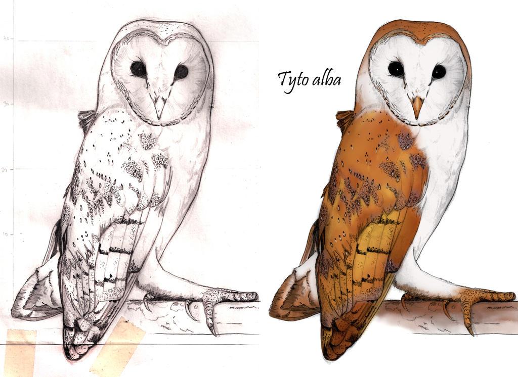 Tyto alba by MarcosBe