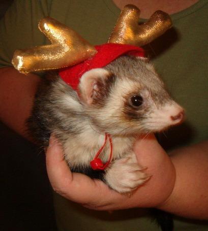 http://orig13.deviantart.net/7cce/f/2007/357/8/7/merry_ferret_christmas_by_rhaynes37.jpg#Merry%20Christmas%20ferret%20409x455