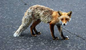 Furano Fox